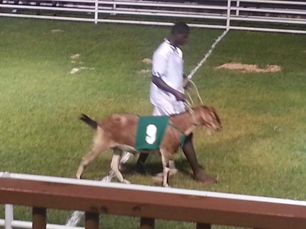 The Jockeys run alongside their goats